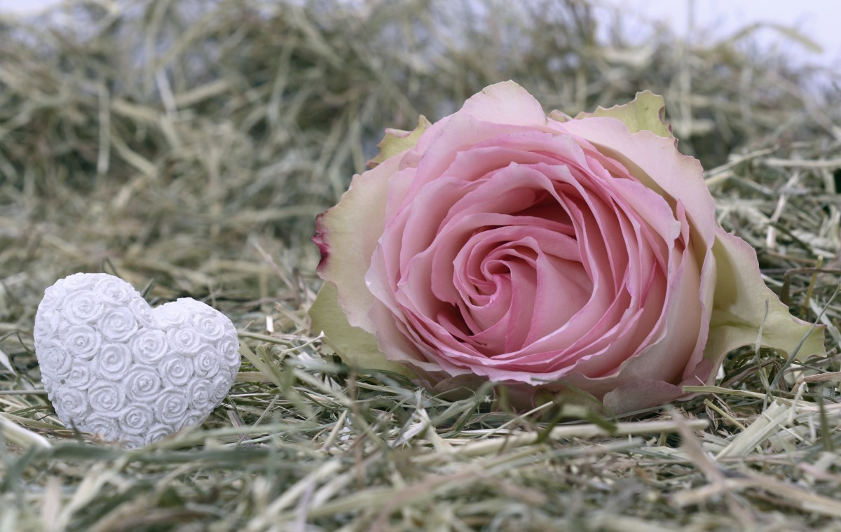 Pink rose and a white heart